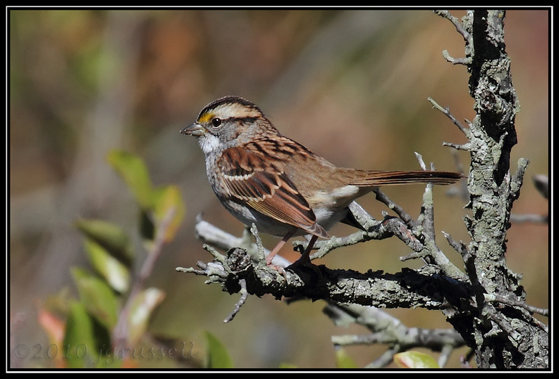 First of season white throated sparrow