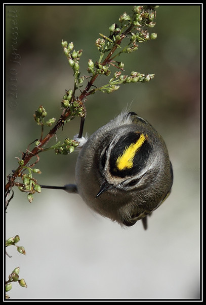 Golden-crowned kinglet