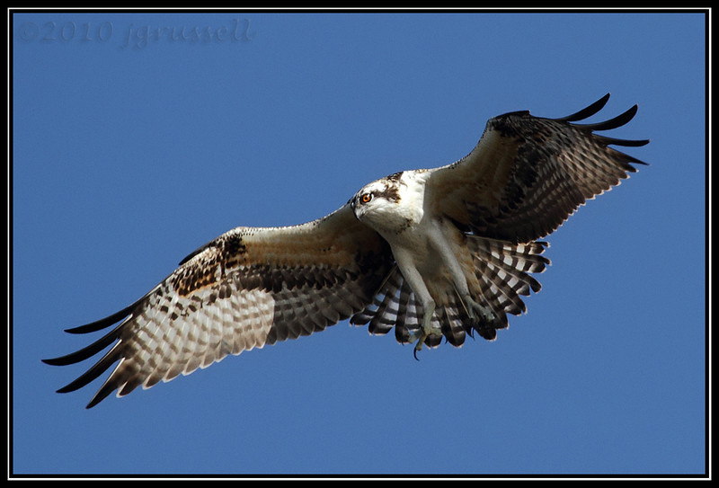 Osprey at DeKorte