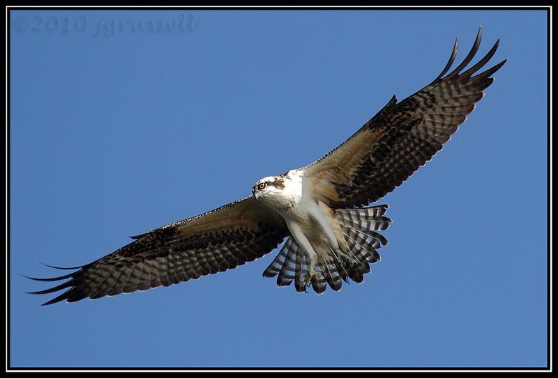 Osprey at DeKorte
