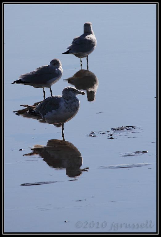 Gulls at DeKorte