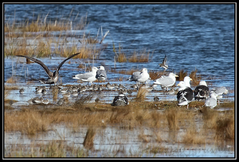 Gulls and sandpipers