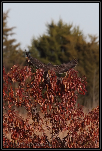 Peregrine landing in tree