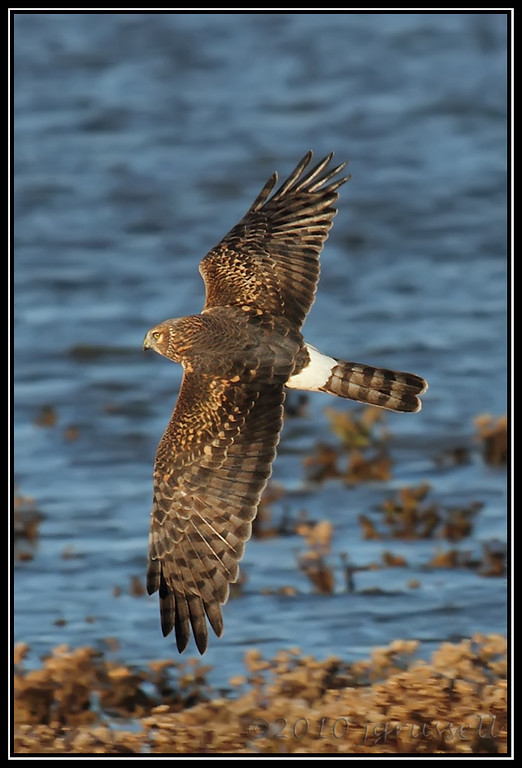 ... by a northern harrier
