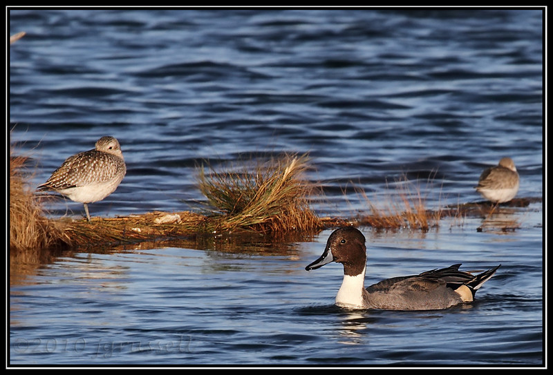 Sandpipers and northern pintail