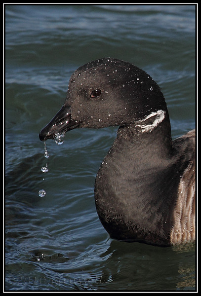 Surfacing brant