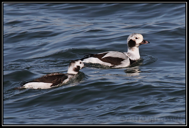 Long-tailed duck hens<br /> (a/k/a oldsquaw)