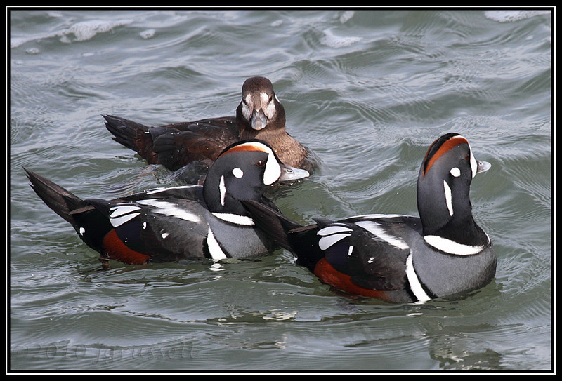 Harlequin drakes and hen