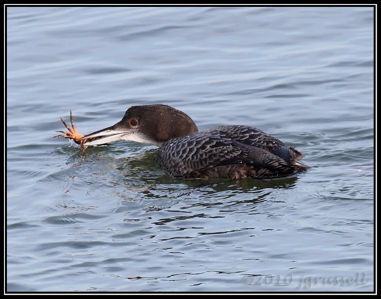 A crabby loon