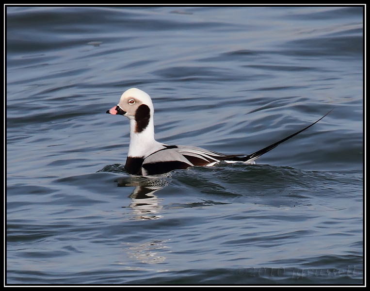 Long-tailed duck drake<br /> (a/k/a oldsquaw)