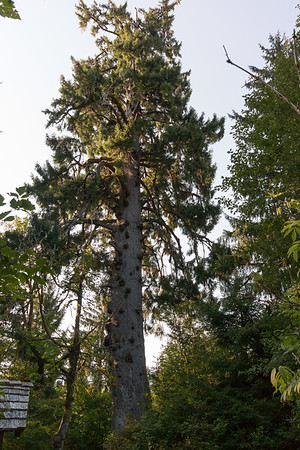 Largest spruce tree, far view
