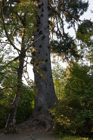Largest spruce tree, closer view