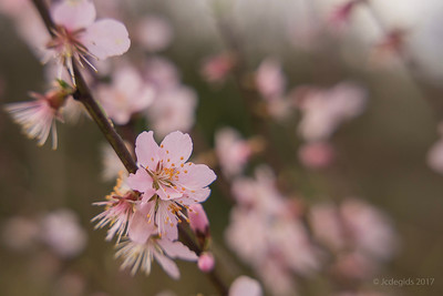 Prunus_CFF_DGO_F4_+_7789c_JD_CHK0317LE