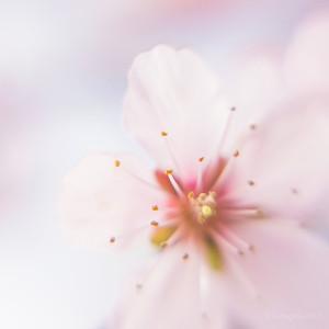 Prunus_CFF_DGO_F4_+_7823c_JD_CHK0317LE