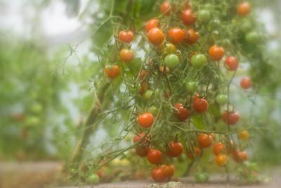 Tomaten_CFF_SFO_Big_13299c_JD_CHK0817ZO