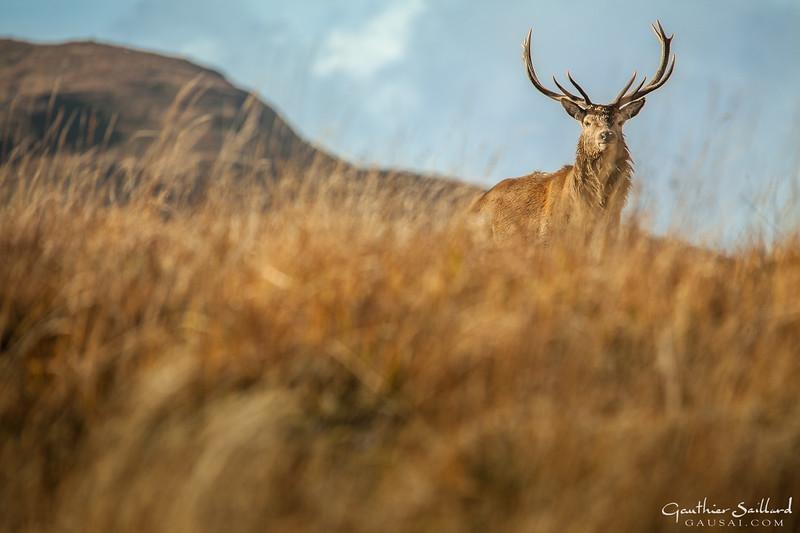 Hirsch auf dem Hügel
