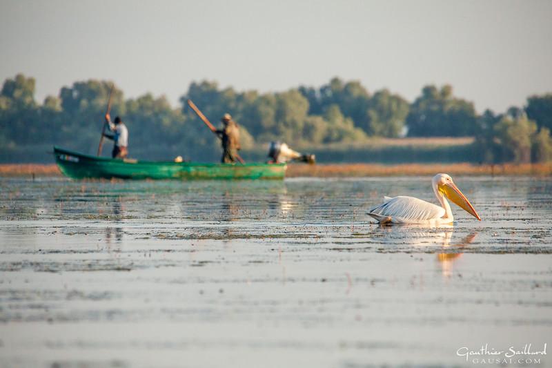 Rosapelikan und Fischer