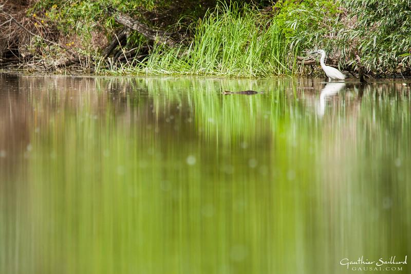 Seidenreiher in Seidenwasser