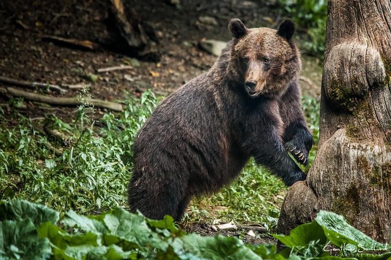 Bär und Baum