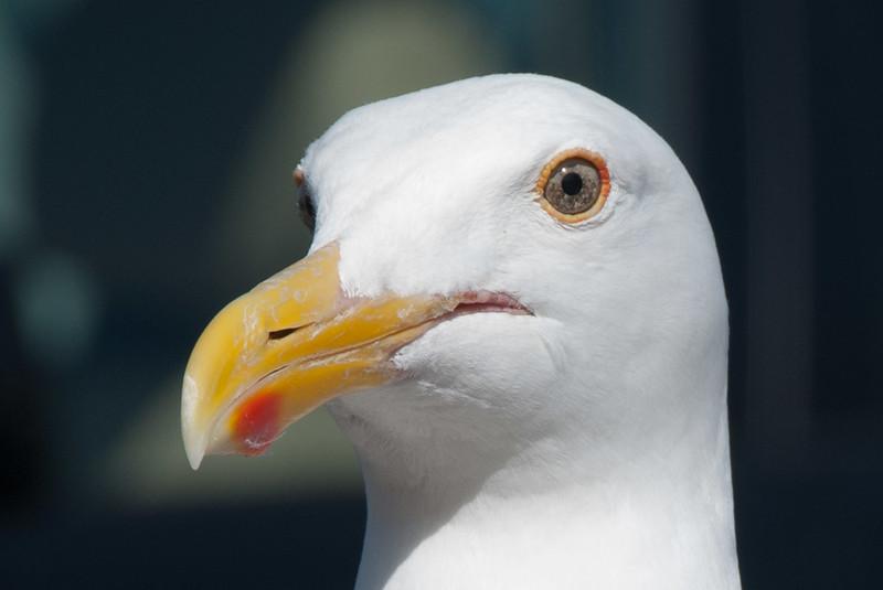 Sea Gull eyeing our breakfast