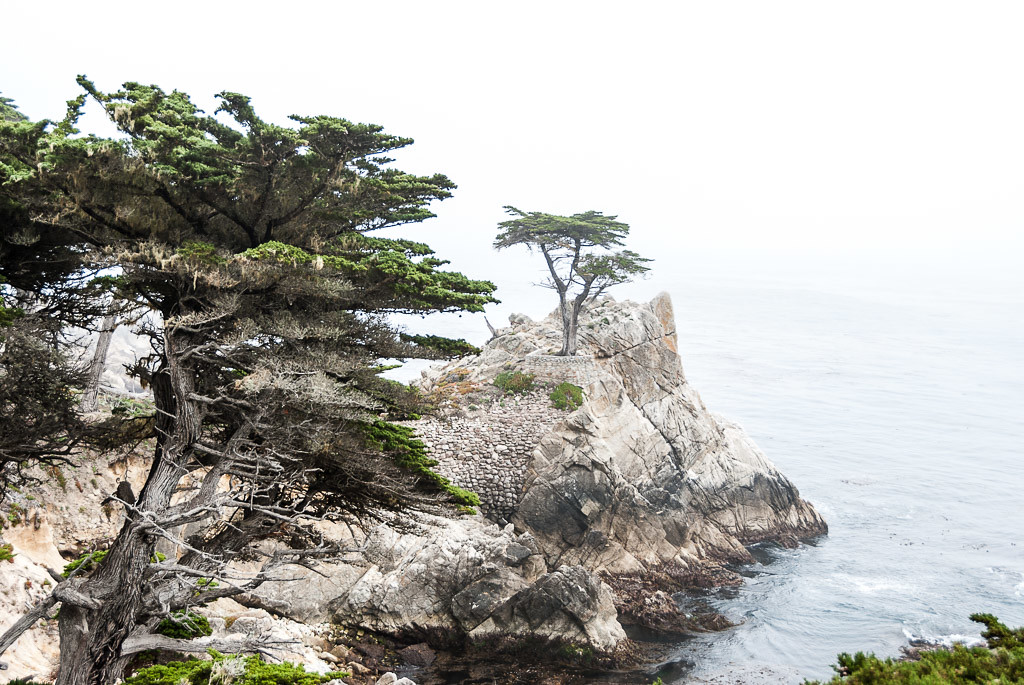 The 240 year old Lone Cypress