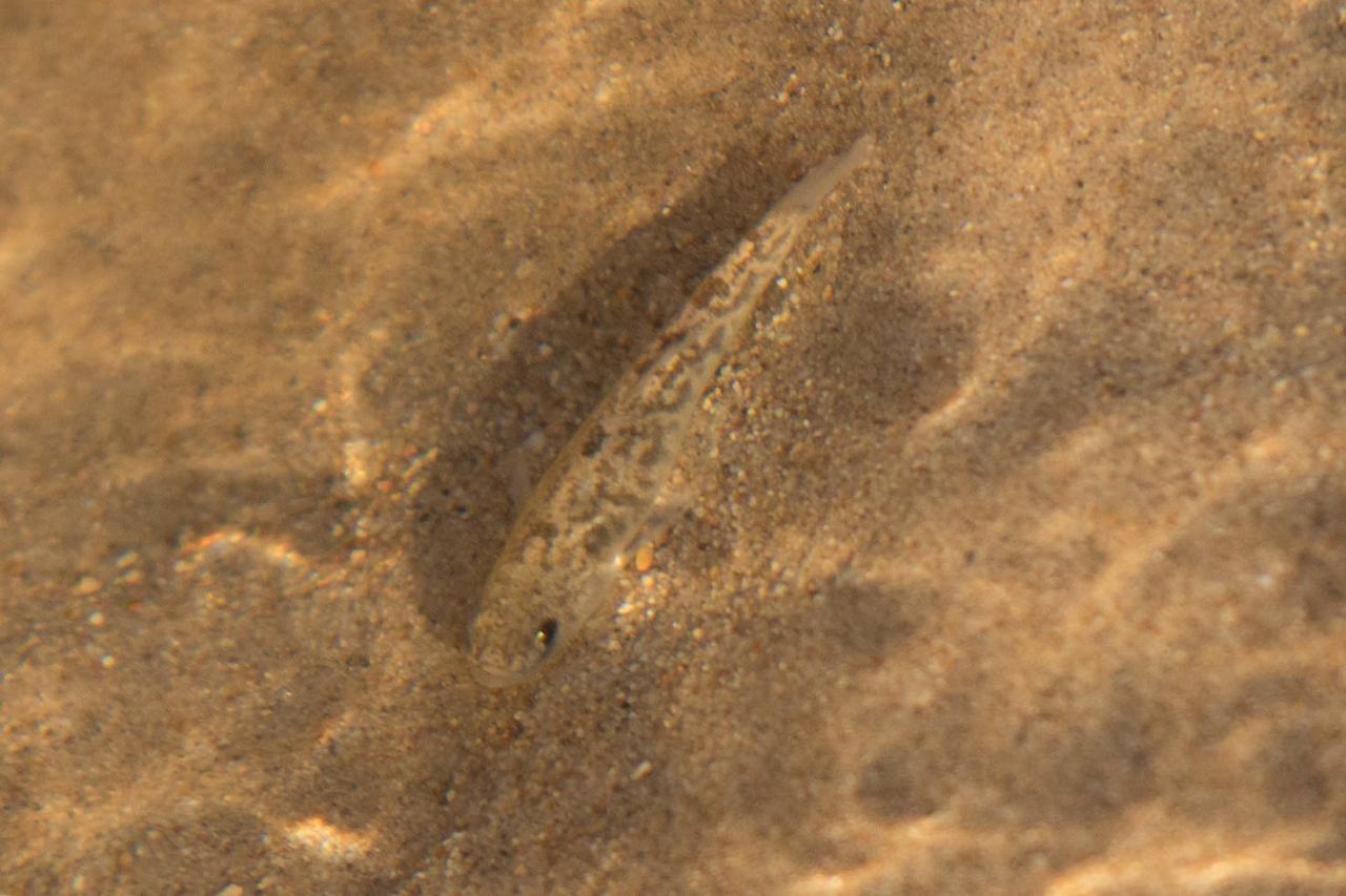 Salt Pup Fish. Endangered.