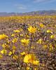 Desert wildflowers following spring rains