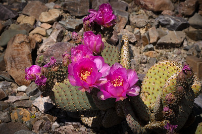 Beavertail Cactus in bloom