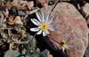 Gravel ghost (atrichoseris platyphylla)