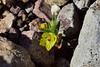 Golden desert snapdragon (Mohavea breviflora)