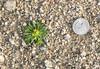 Yellow peppergrass (Lepidium flavum) (Thanks to Cindy Elsberry Brittain)