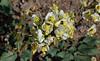 Brown eyed evening primrose (Camissonia claviformis)