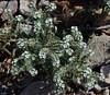 Scented cryptantha (Cryptantha utahensis)