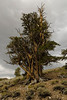 Ancient Bristlecone Pine - White Mountains, Inyo National Forest, California - Mark Gromko - August 2012