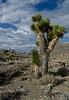 Joshua Tree Forest - California Desert Protection Area - Mark Gromko - August 2012