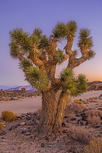"""Desert Wonder,"" Dusk over a Joshua Tree in the Mojave Desert, Death Valley National Park, California"
