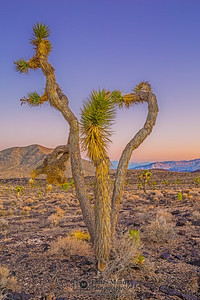 """Heart of the Desert,""  Dusk over a heart shaped Joshua Tree in the Mojave Desert, Death Valley National Park, California"