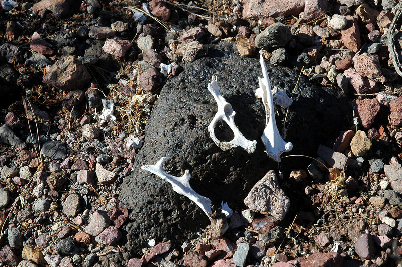 Bones from a small animal, thinking that it might have been a fox.