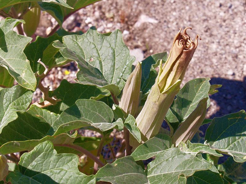 Jimson Weed budding<br /> Sacred Datura