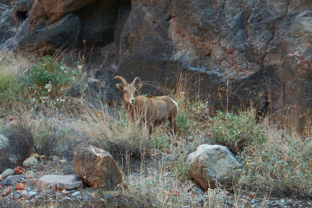 On the way out we met up with this female big horn sheep. We were able to get within 20 feet of her before she started to move away from us. This is the first time I was able to get within a 100 yards of one of these without it running off, it showed no fear of us.