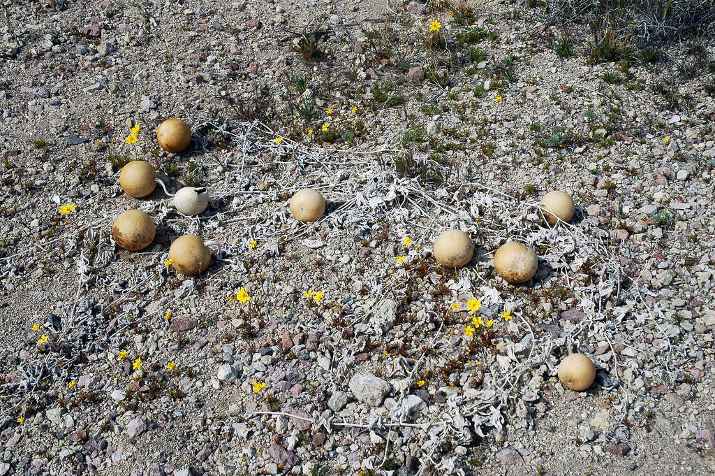 Group of coyote melons.
