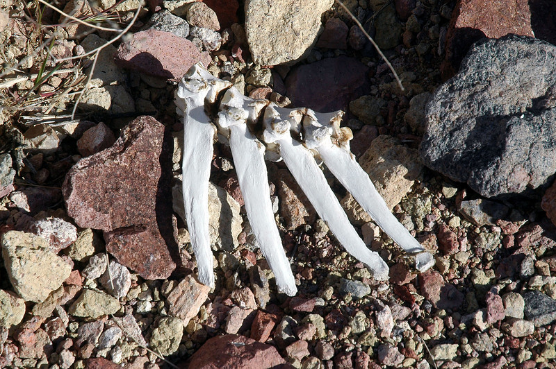 There was a lot of bones in the canyon. Think that these are from a bighorn sheep.