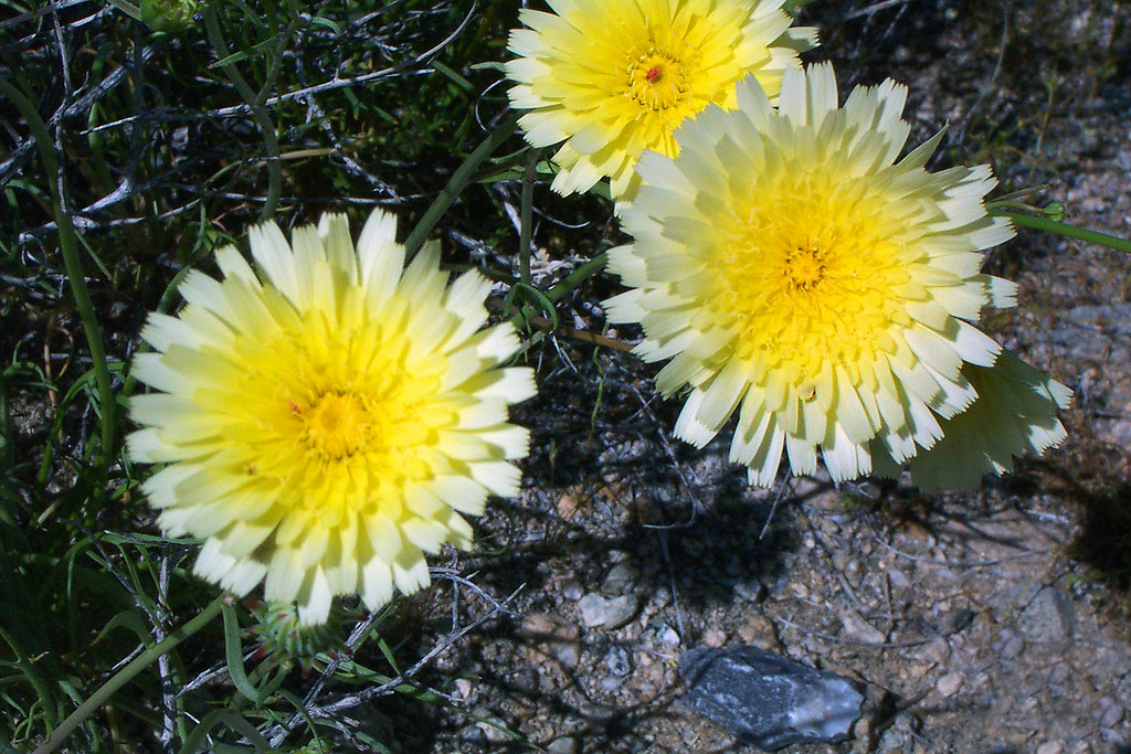 Pulled over to get some shots of these Desert Dandelions just off the highway. Another fun trip to Death Valley comes to an end. Hiking up to Wildrose Peak was fun, but climbing Manly Beacon was a blast, want to do that one again. <br /> <br /> THE END