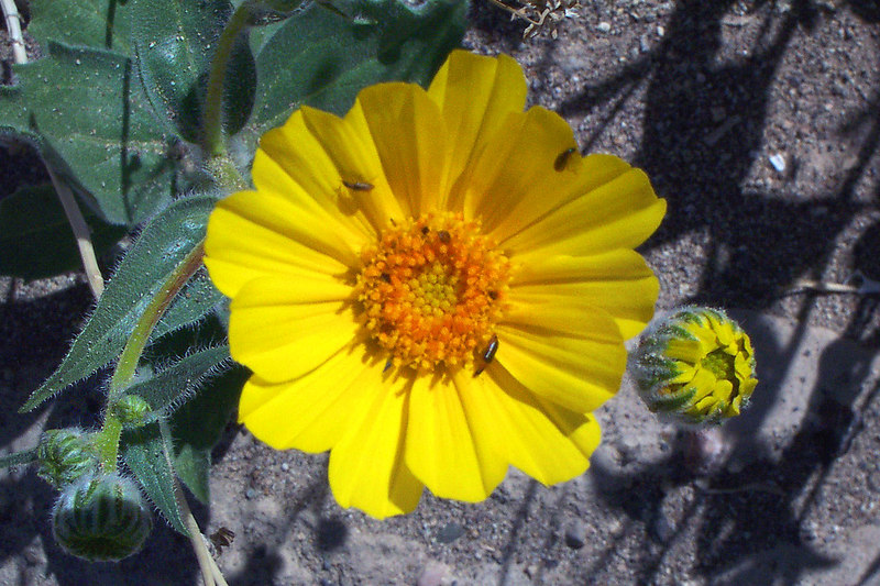 A close up of one of the Desert Sunflowers and a few bugs.
