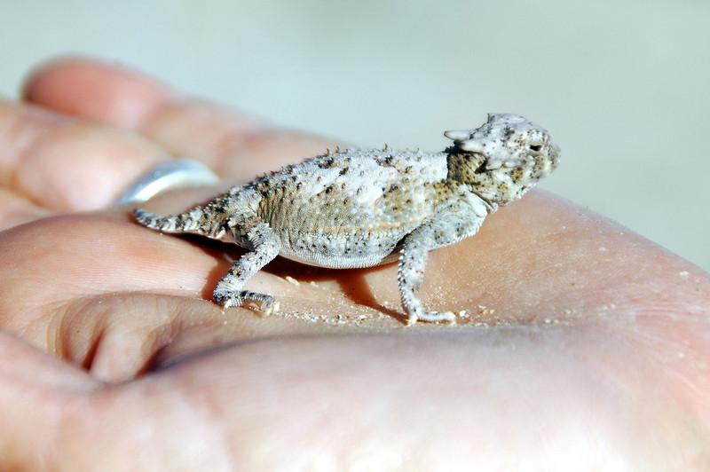 A U2 horn toad.