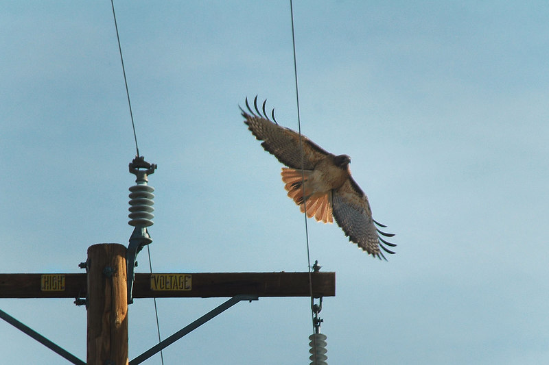 Hawk taking off from a power pole on the way to Death Valley.