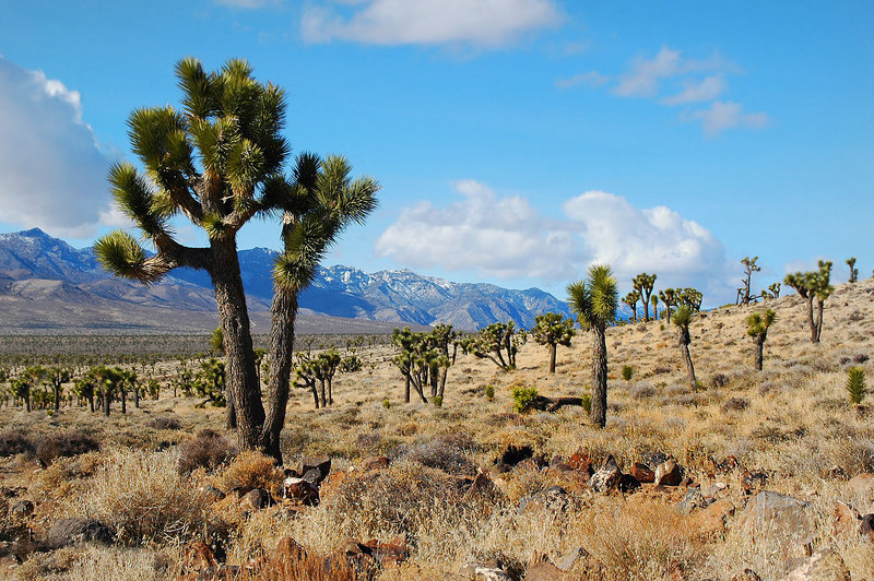 Joshua trees at Lee flat.