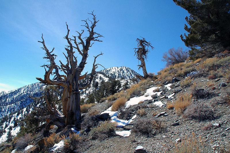 The remains of either a limber or bristlecone pine, the area has both.