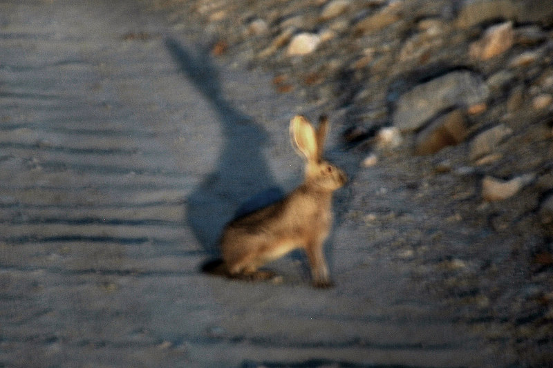 One of the many rabbits that were on the road while heading to the Wildrose Campground. Brent planed to xc ski in the Bishop area the next day so he headed off while the rest of us spent the night at the Wildrose Campground.