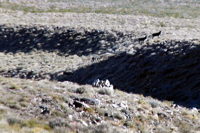 Four wild burros.